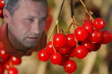 Калина красная становится символическим растением Алтайского края