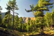 Кедр снова становится символическим растением Горного Алтая