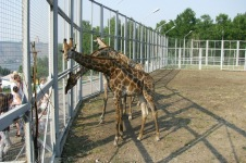 «Роев ручей» откроет доступ к вольеру с жирафами
