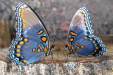 Новосибирск: появление первых бабочек.