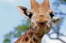 В Хакасии пропали жирафы