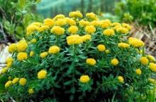 Плантация золотого корня (родиолы розовой) в Кемеровской области