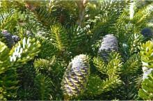 Пихта Семивершинная — ботанический памятник природы в Кемеровской области