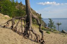Ходульные деревья на Байкале