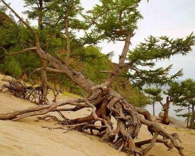 деревья на Байкале