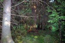 Елбанские ельники в Новосибирской области