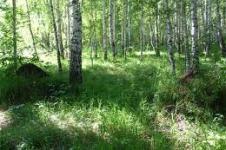 Березово-муравьиная роща в Краноярском крае.