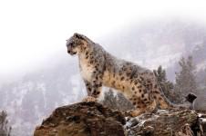 Программа по защите снежных барсов в республике Тыва