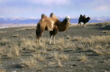Мир фауны Кош-Агачского района