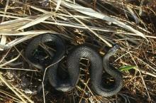 Лачиновская курья — место зимовки змей в Кемеровской области