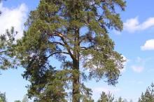 Сосна с кольцами —  ботанический памятник природы в Кемеровской области