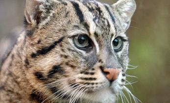 В Новосибирском зоопарке пополнение – прибыл виверровый кот.