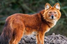 В Новосибирском зоопарке родились красные волчата