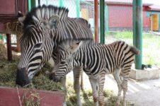 Красноярский парк флоры и фауны «Роев ручей» в отсутствии посетителей переживает беби-бум среди его животных