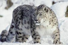 Сельчане горных деревень Горного Алтая будут изучать снежного барса с помощью мобильных телефонов
