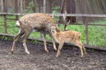 Пятнистые оленята родились в Новосибирском зоопарке