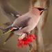 В красноярский нацпарк рекордно рано прилетели на зимовку первые свиристели