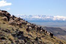Ученые выяснили, когда на Алтае появились овцы