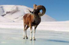 Республика Алтай. В Сайлюгемском национальном парке начался учёт алтайского горного барана