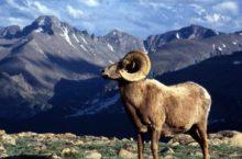 В Горном Алтае увеличилась численность горного барана алгари
