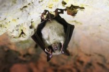 Новосибирские ученые обследовали летучих мышей в Сибири на коронавирус